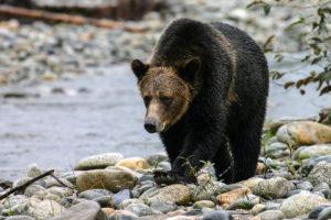Bear in search of Salmon